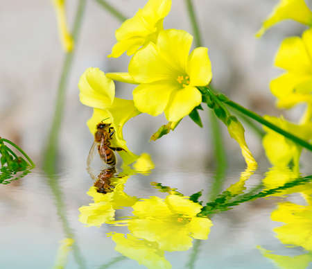 bee on a yellow flower reflected in the water Stock Photo - 24417757