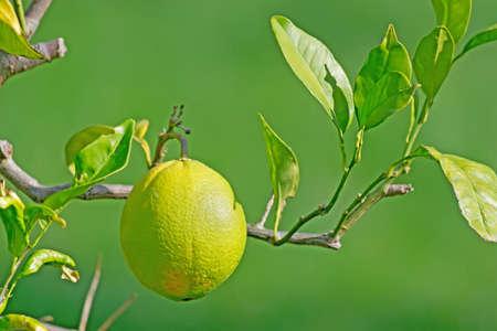 unripe: unripe orange on the branch Stock Photo
