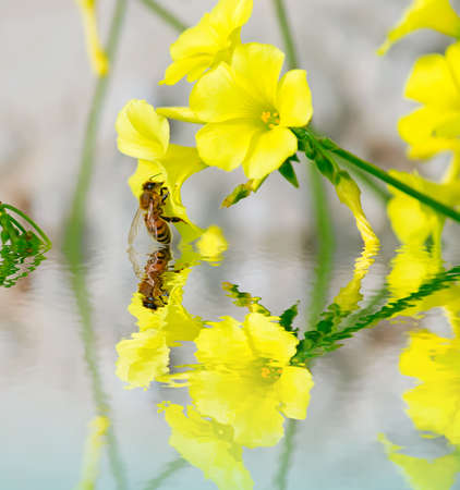 bee on a yellow flower reflected in the water Stock Photo - 24418803