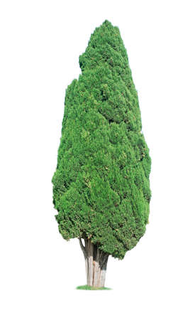 cypress tree: cypress tree isolated on white background