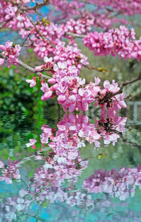 pink flowers reflected in the water Stock Photo