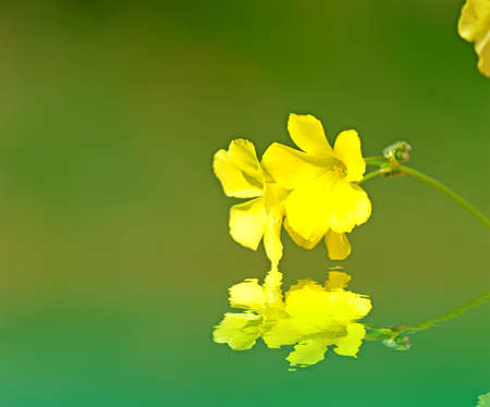 close up of a oxalis pes-caprae reflected in the water photo