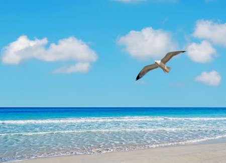 seagull flying over La Pelosa beach, Sardinia