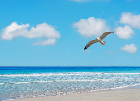 seagull flying over La Pelosa beach, Sardinia