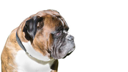 portrait of a sad boxer isolated on white background Stock Photo