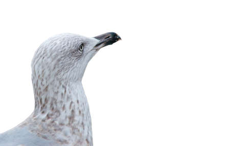 wing span: seagull head isolated on white background
