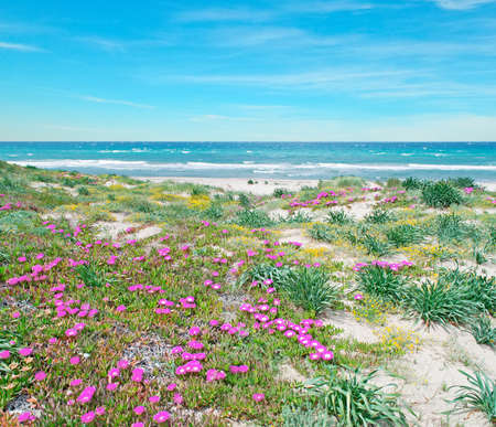 seafront: pink flowers in Platamona beach on a spring day