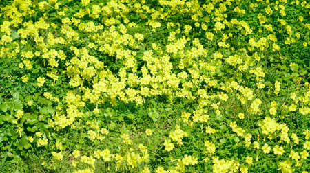 yellow oxalis in a green meadow photo