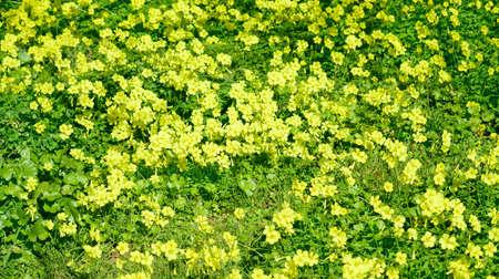 oxalis: yellow oxalis in a green meadow