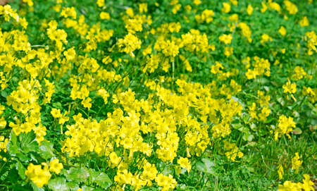 meadow full of yellow flowers photo