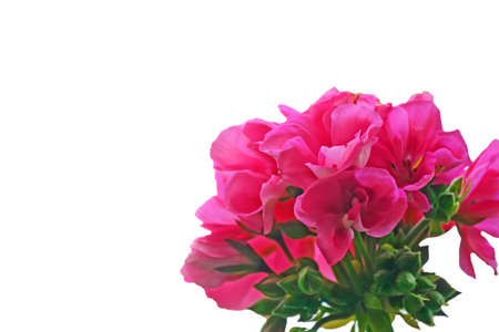 closeup of a pink geranium isolated on white background photo
