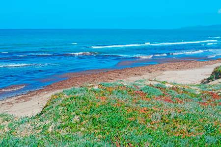 seaweeds: seaweeds and green plants by Platamona shoreline