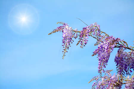 wisteria branch on a sunny day
