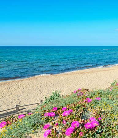 flores fucsia: flores fucsias por la orilla Platamona, Cerde�a