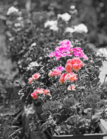 colorful geraniums ina black and white garden photo