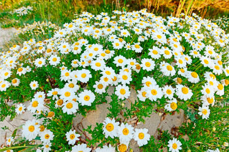 several daisies on a sand dune at dusk photo