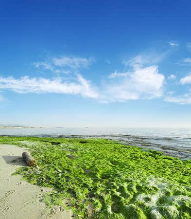 seaweeds: green seaweeds by the shore