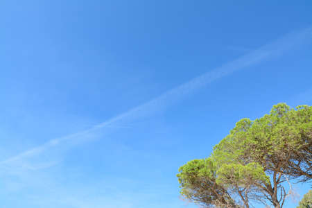 tip of the leaf: pine tree under a blue sky.  Stock Photo