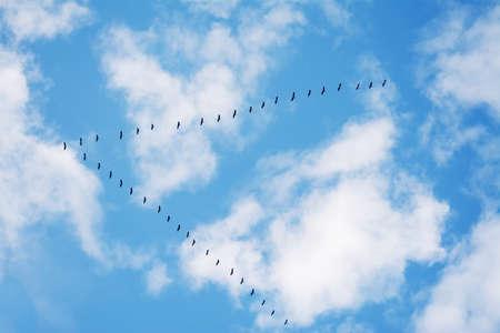 曇り空の下で形成で飛ぶ鳥の群れ。サルデーニャ、イタリアで撮影