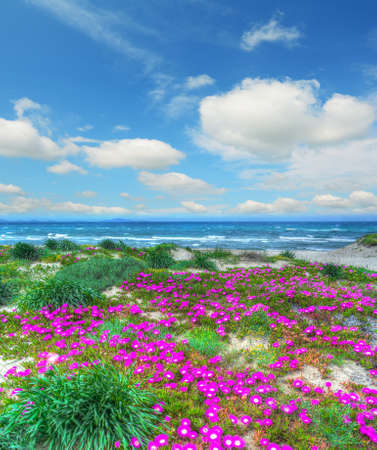 flores fucsia: flores de color rosa por Platamona costa. Filmada en Cerde�a, Italia