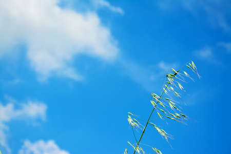 wild oats: wild oats under a blue sky with clouds Stock Photo