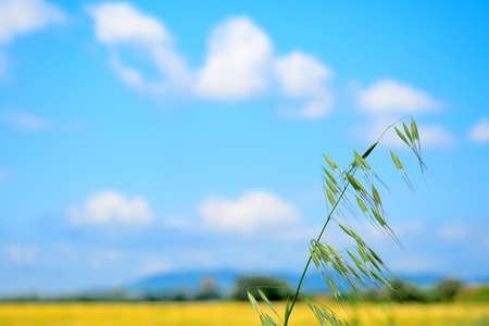 wild oats under a blue sky with clouds Foto de archivo