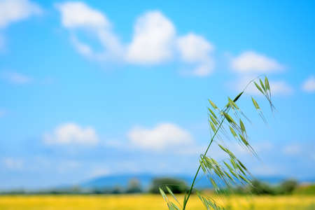 wild oats under a blue sky with clouds Stock Photo