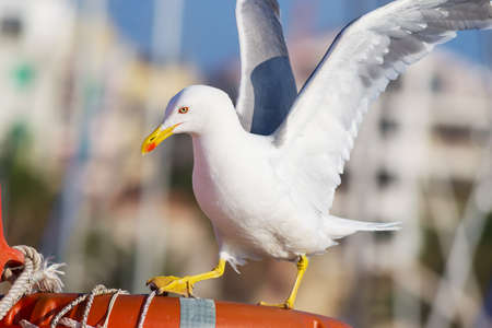 wing span: seagull landing on a lifebuoy