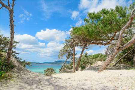 pine trees by the shore in Maria Pia beach, Sardinia