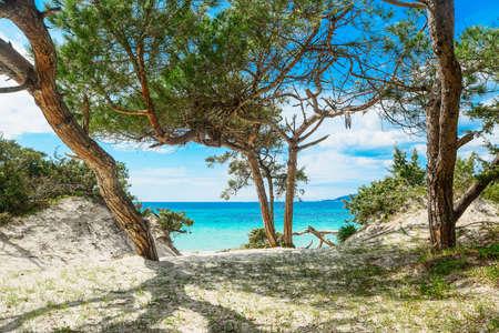 Pine tree by the sea in Alghero coastline, Sardinia