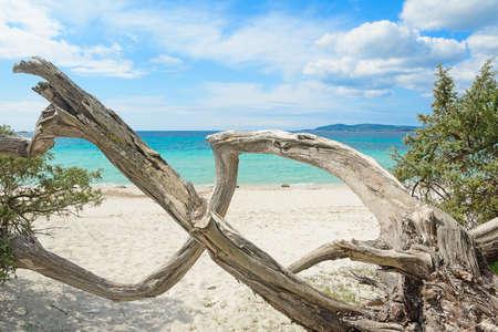 pine trunk in Maria Pia beach, Sardinia