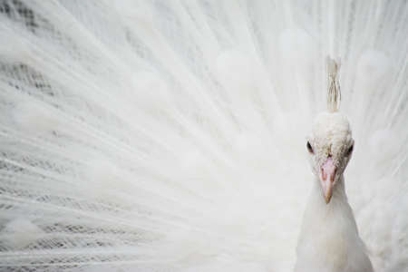 strut: front view of a white peacock Stock Photo
