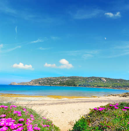 capo: pink flowers by the shore in Capo Testa, Sardinia