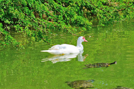 muscovy duck: muscovy duck and turtles in a green pond Stock Photo