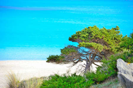 seaboard: pine tree by the sea in Stintino, Sardinia Stock Photo
