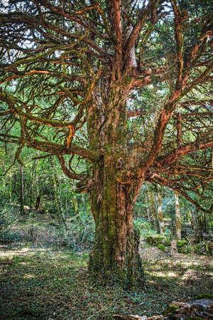 creepy: creepy tree in the forest, Sardinia