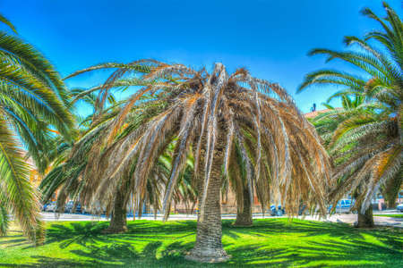 weevil: palm tree killed by red palm weevil in Alghero, Italy Stock Photo