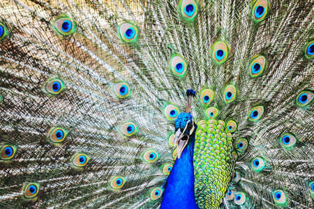 peacock wheel: close up of a peacock wheel