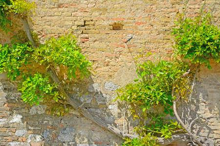 climbing plant: climbing plant on a brick wall in San Gimignano, Italy Stock Photo