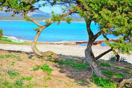 seaboard: pine trees in Stintino shoreline, Italy