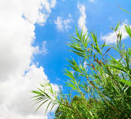 canne: canne verdi sotto soffici nuvole Archivio Fotografico