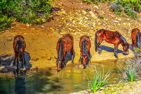 caballo bebe: wild horses drinking from a small creek Foto de archivo