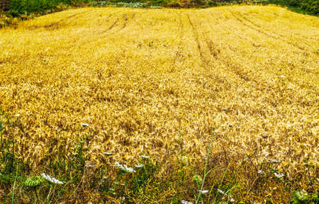 hay field: yellow hay field in Sardinia, Italy