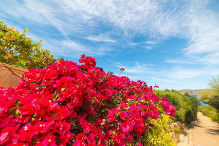 close up of a bougainvillea by the shore in Sardinia, Italy