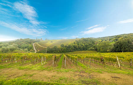 Vineyard in Montalcino, Italy Stock Photo