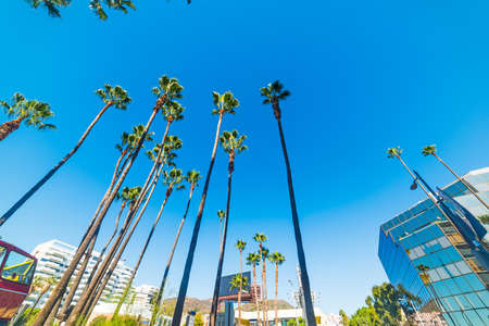 Palm trees in Hollywood Boulevard, California