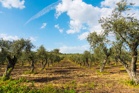 Olive trees in Sardinia, Italy 版權商用圖片