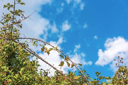 Bramble under a blue sky in the springtime