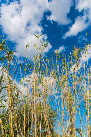 common reed: Reeds under a cloudy sky in spring Stock Photo