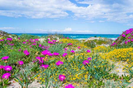 Pink and yellow flowers in Platamona beach. Sardinia, Italy Stok Fotoğraf